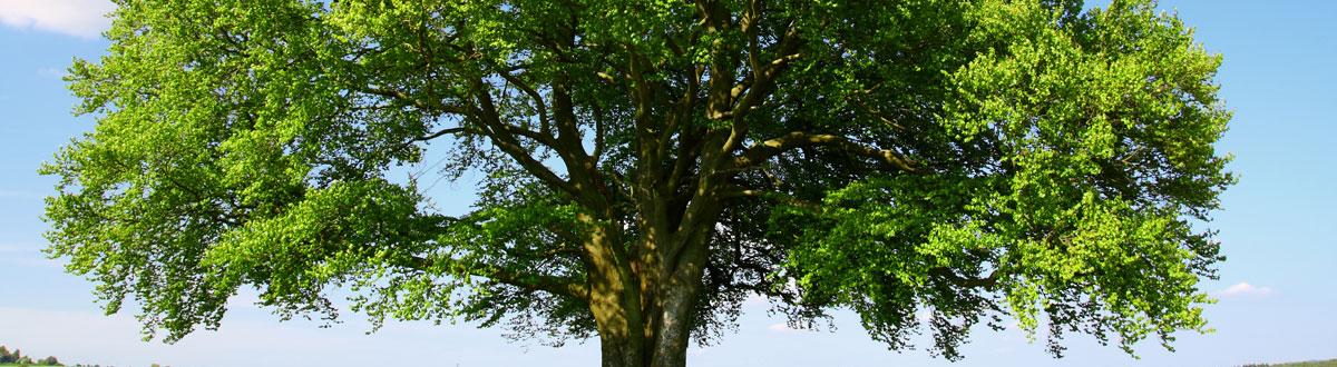 albero di faggio